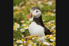 Puffin in Daisies by Terri Thorpe