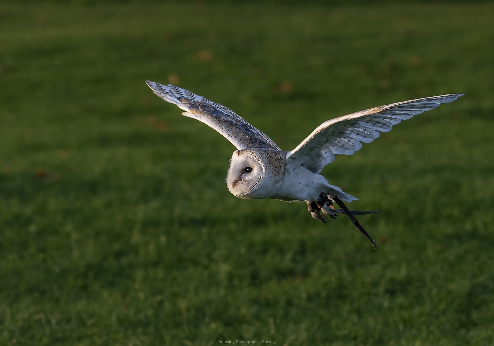 Barm Owl by Dave Rippon