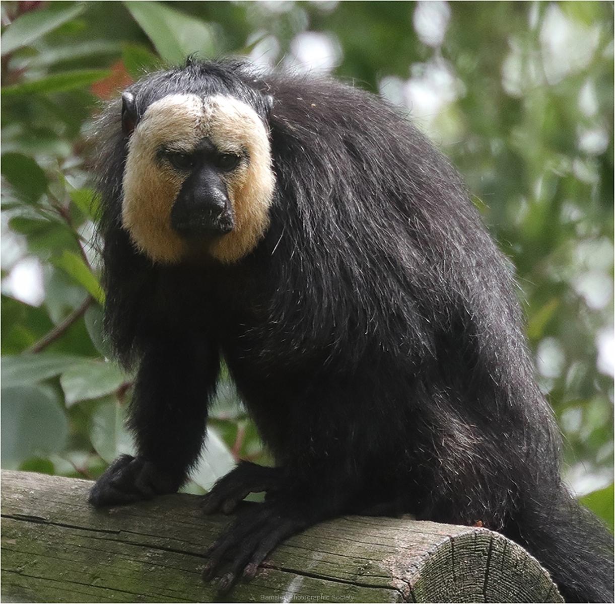 Sakis Monkey by Phil Holmes