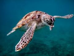 Bajan Green Turtle by Rob Mason