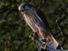 Eurasian Kestrel by Dave Rippon