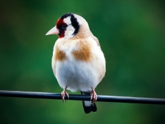 Goldfinch on the Wire by Rob Mason