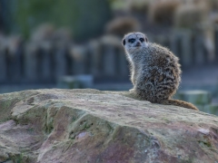 Meerkat by Dave Rippon