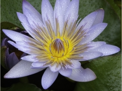Water Lily by Jeff Moore