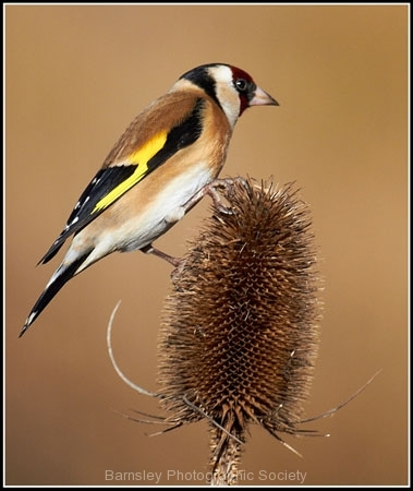 Goldfinch by Phil Holmes