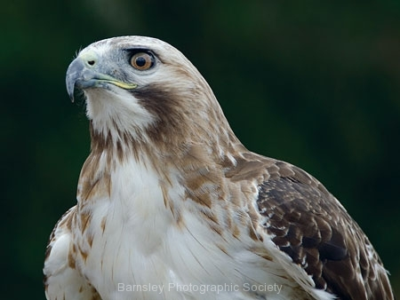 Juvenile White Tailed Eagle by Jeff Moore
