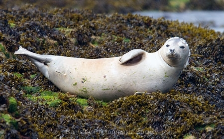 Seal Pup by Jeff Moore