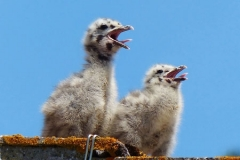 Seagull Chicks by Ray Evans