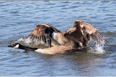 Canada Geese Mating by Phil Holmes