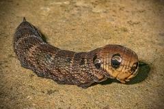 Larva of Hawkmoth by Bob Harper