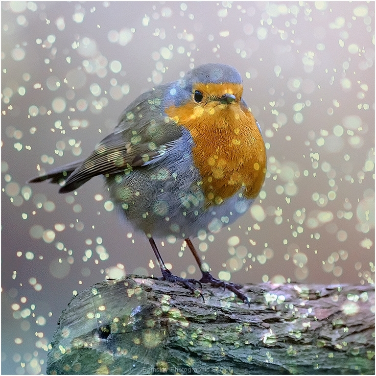 Christmas Robin by Jeff Moore