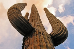 SAGUARO CACTUS by Patrick Cleary