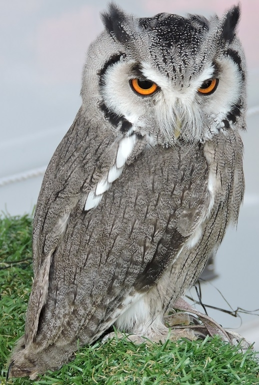 WHITE FACED SCOPS OWL by Paul Coverdale