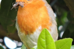 ROBIN WITH BREAKFAST by Paul Coverdale