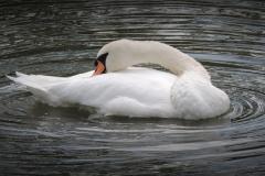SWAN-LAKE-by-Paul-Coverdale