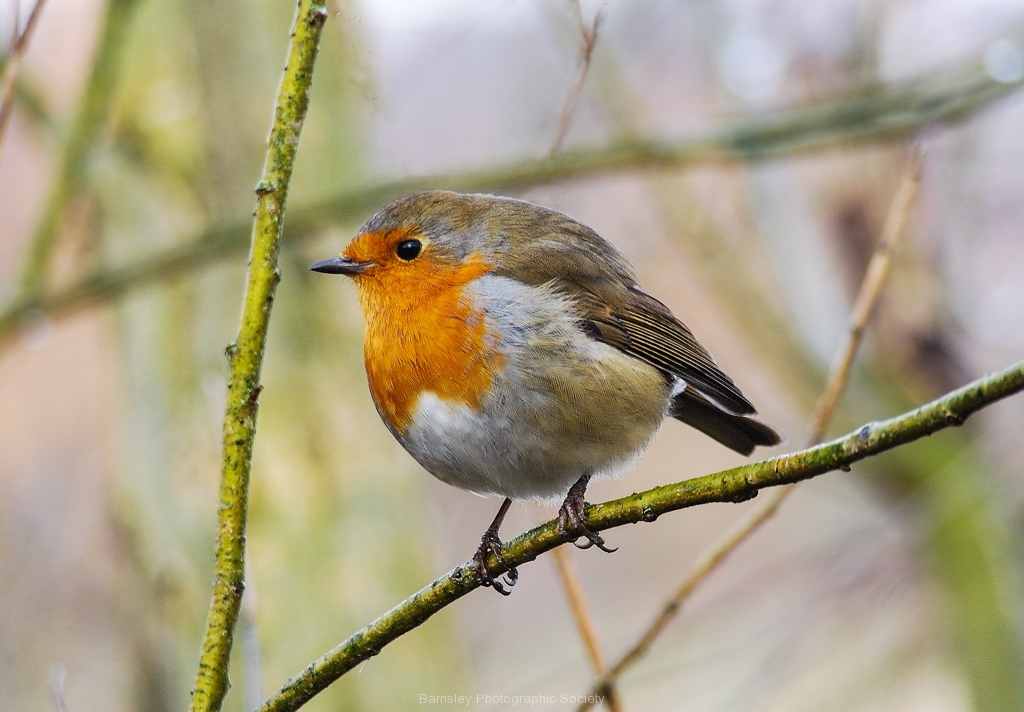 FAT-ROBIN-by-Phil-Edwards