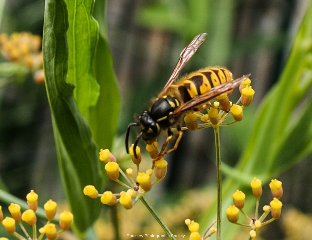 WASP by Phil Edwards