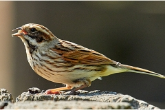 4 D REED BUNTING by Phil Holmes