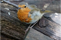 4 D ROBIN by Phil Holmes