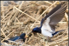 4 D Swallow Feeding Young