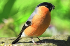 4 P BULL FINCH by Phil Holmes