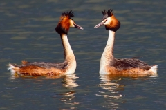 4 P CRESTED GREBES by Phil Holmes