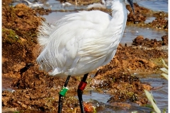 LITTLE EGRET by Phil Holmes