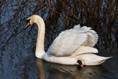 MUTE-SWAN-by-Phil-Holmes