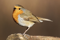 ROBIN-by-Phil-Holmes