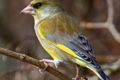 Greenfinch by Phil Holmes