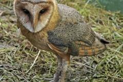 OSSIE THE BARN OWL by Roy Lloyd 1