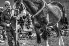 SHIRE HORSE by Roy Lloyd