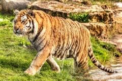 AMUR TIGER by Tom Allison