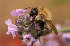 BUMBLE BEE ON LAVENDER by Tom Allison