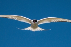COMMON-TERN-by-Tom-Allison