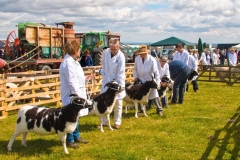 JUDGING SHEEP AT THE EMLEY SHOW by Tom Allison