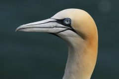 Gannets_Head_AK___First_Res